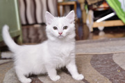 Котенок белый 3 месяца